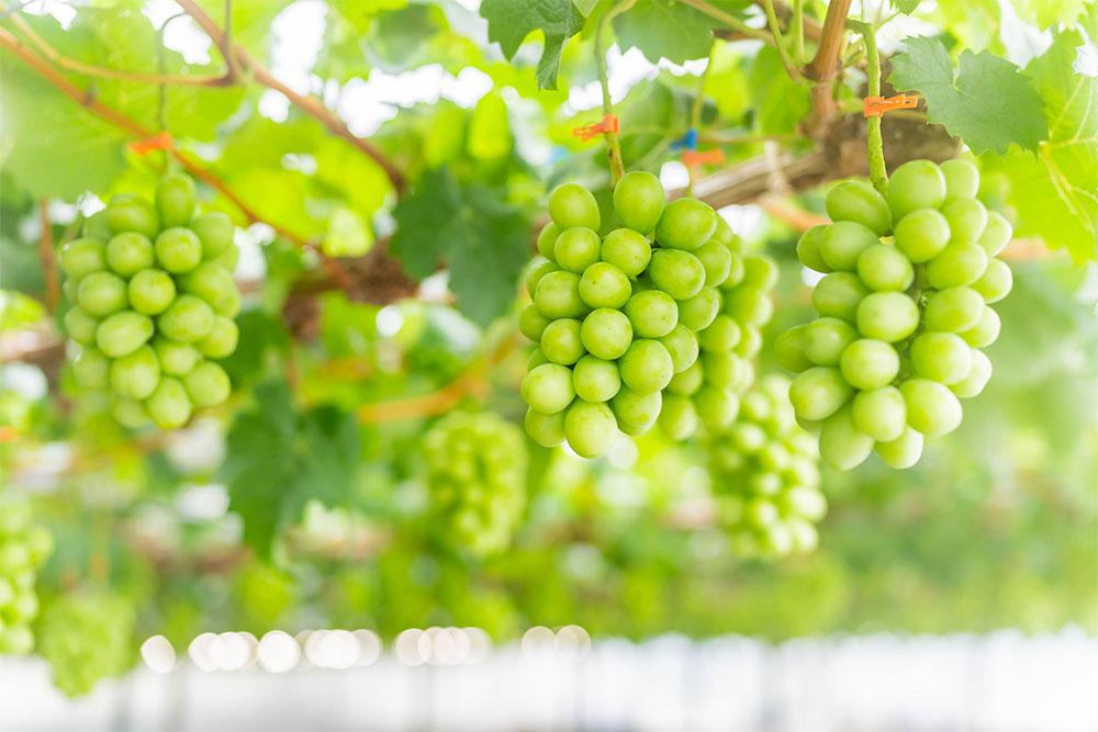 加温栽培で成育中のシャインマスカット